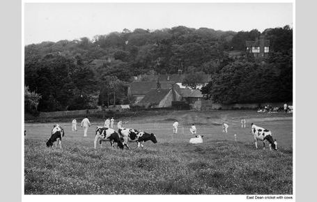Horse Field cricket with cows
