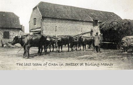 Last Team of Oxen at Birling Manor with Oxman Barton
