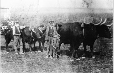 Ray Kemp with oxen